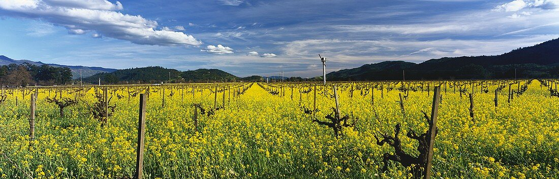Flowering charlock in spring, Robert Mondavi, California, USA