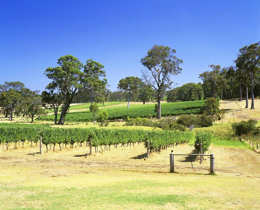 Organic wine-growing, Settlers Ridge, Cowaramup, Australia