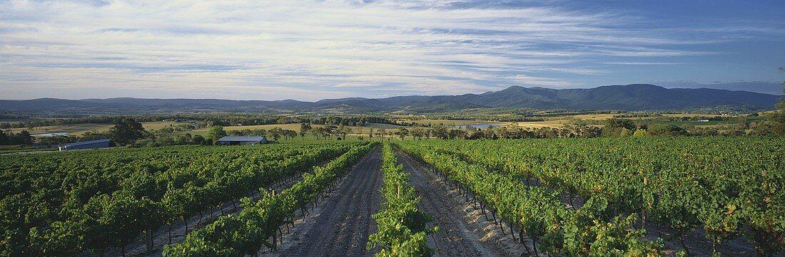 Vineyard of Yarra Yering Estate, Yarra Valley, Australia