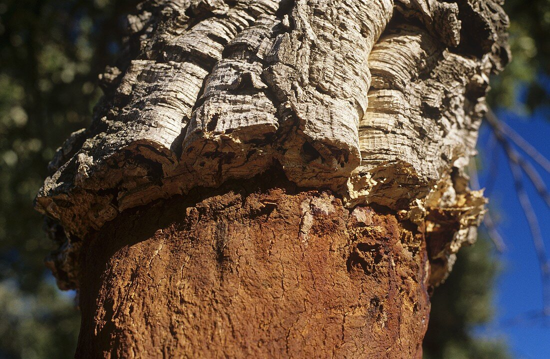 Cork oak, with bark removed