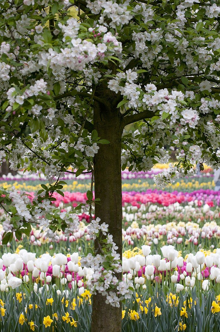 Tulips and narcissi in Keukenhof, Holland