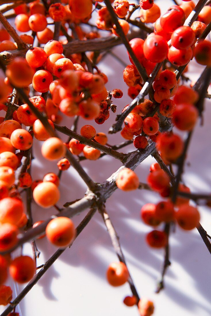 Sprigs of holly berries
