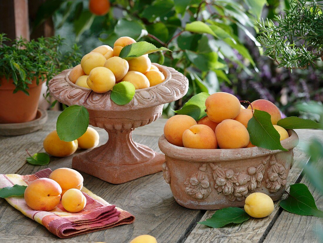 Fresh apricots in terracotta containers