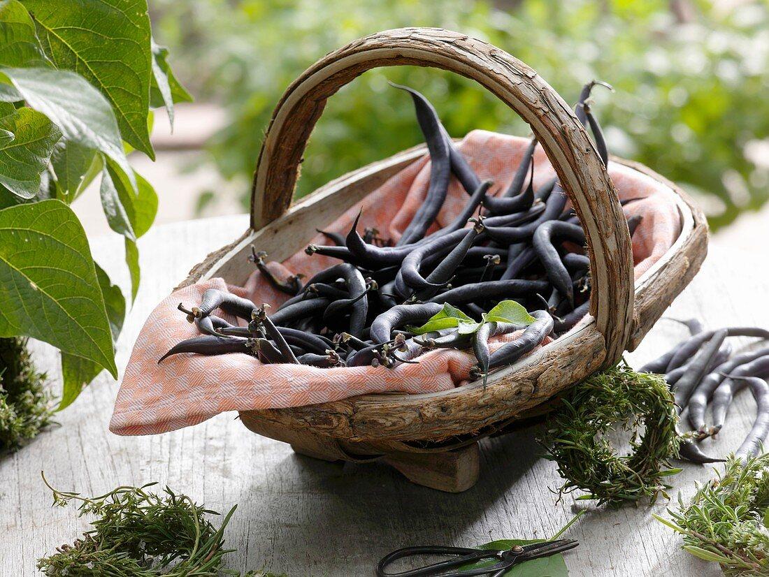 Purple dwarf French beans (variety 'Purple Teepee') in wooden basket