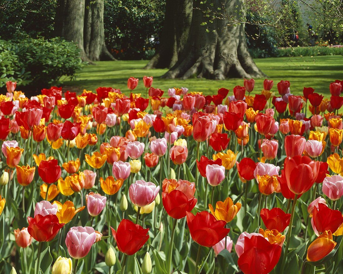 Mixed tulips in park