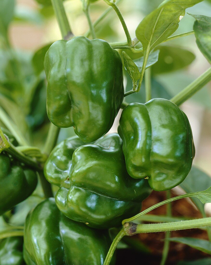 Green peppers on the plant