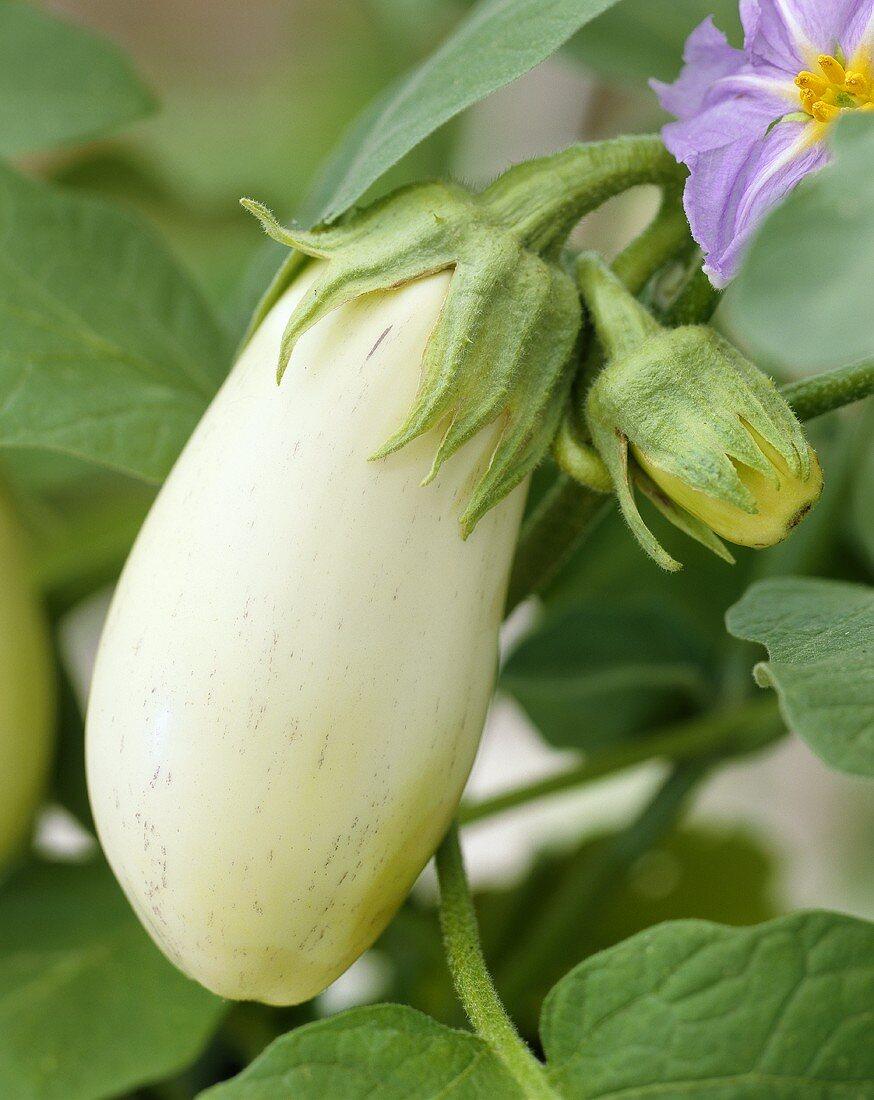 A white aubergine (Aubergine 'Mohican')