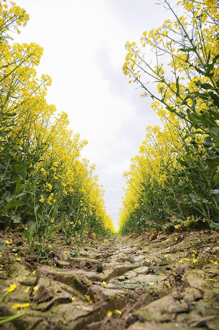 Oilseed rape field (detail)
