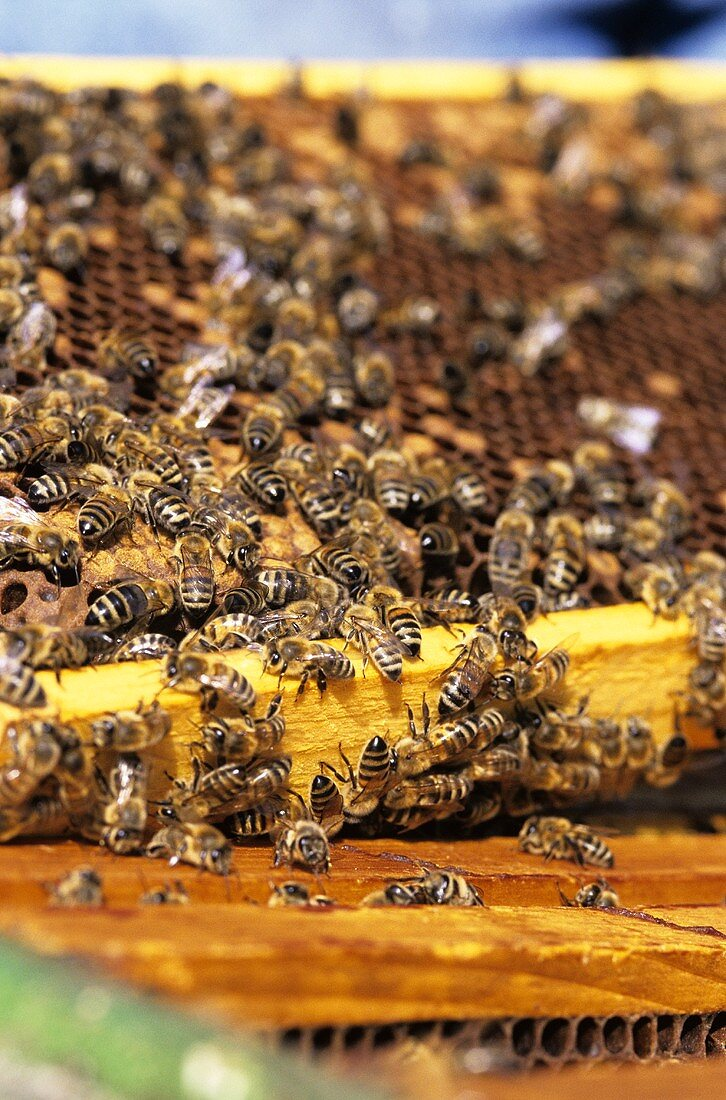 Industrious bees in a beehive