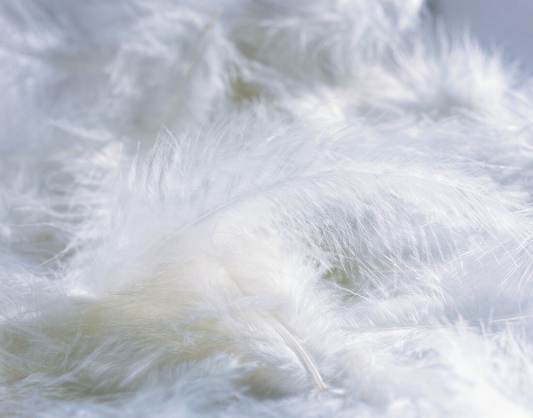 White feathers, filling the picture