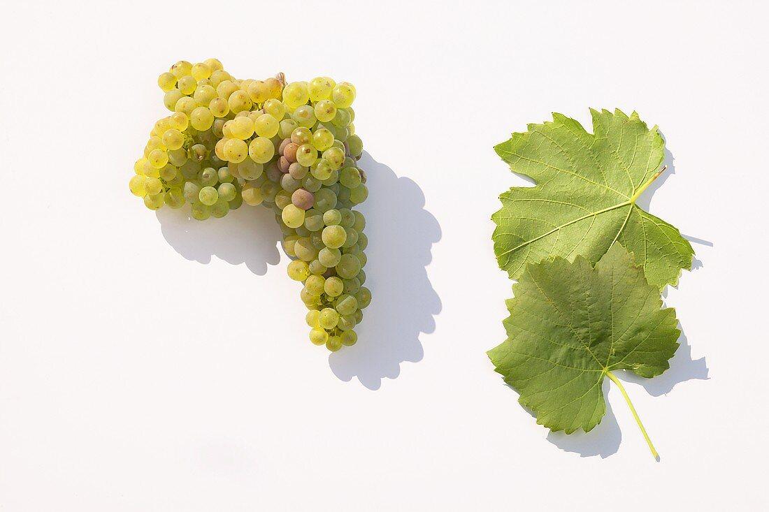 White wine grapes, variety 'Albalonga'