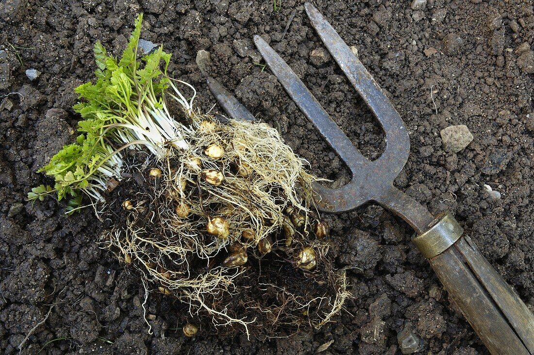 Pig nuts (Bunium bulbocastanum) in the field