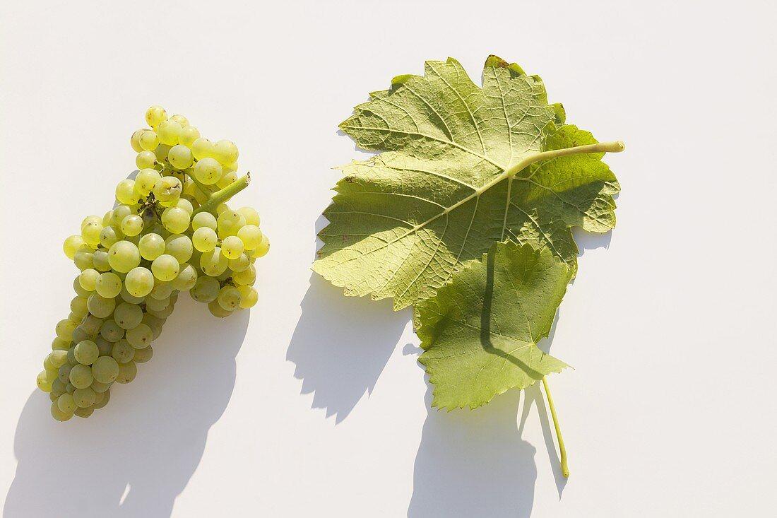 White wine grapes, variety 'Weisser Burgunder'