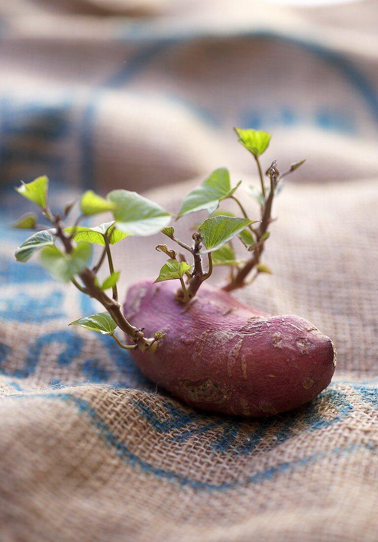 Sweet potato with shoots