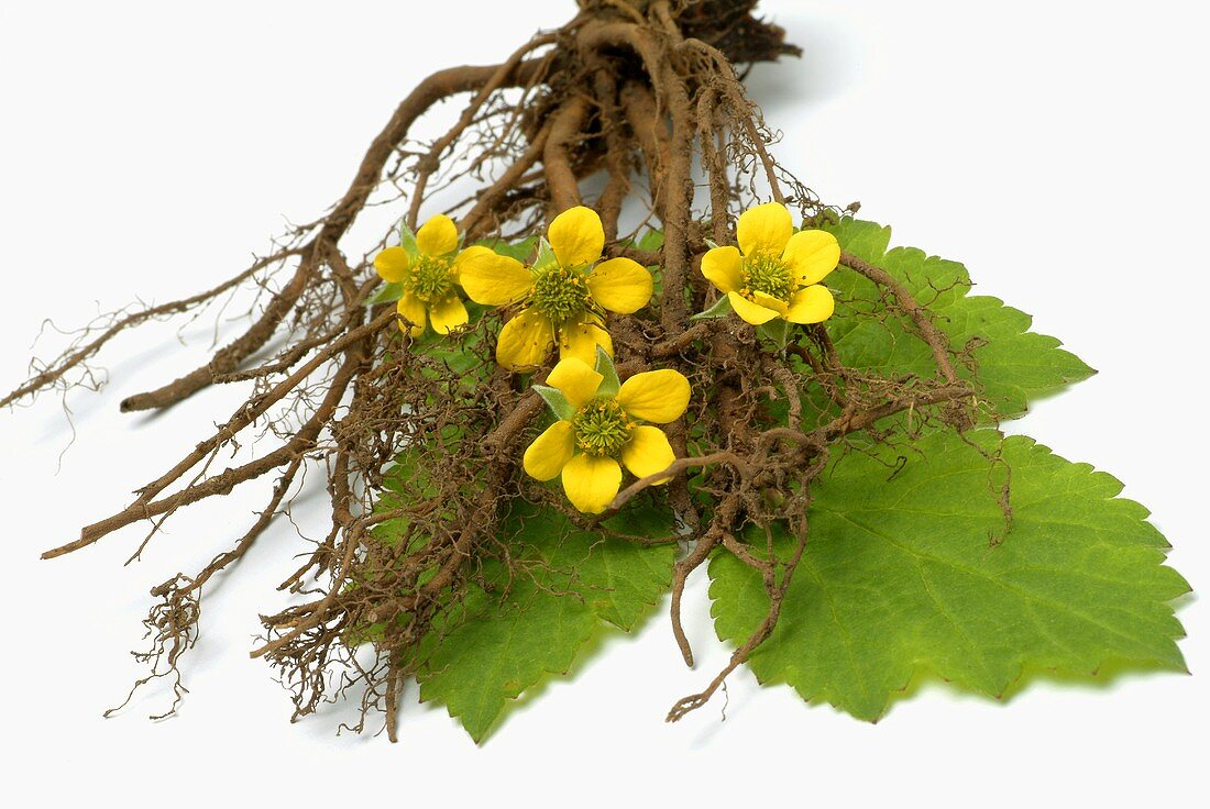 Tormentil (flowers, leaves and roots)