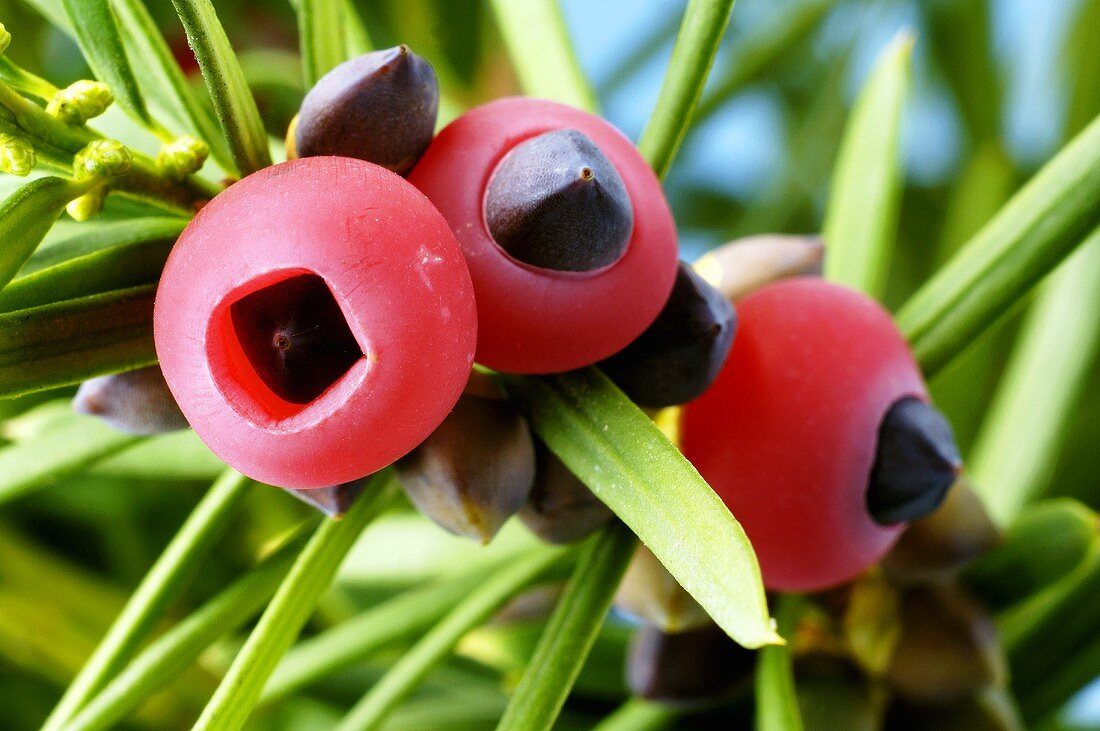 Yew fruits on the branch (Taxus baccata)