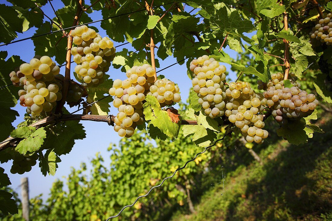 Scheurebe grapes (Franconia, Germany)