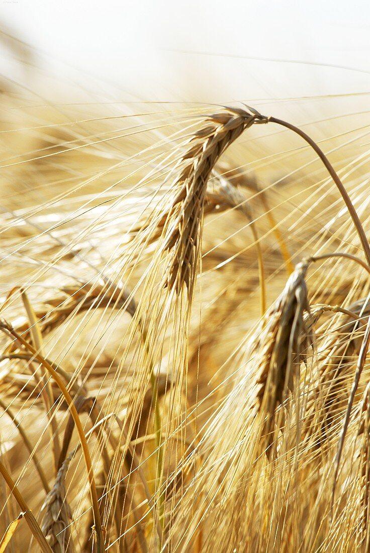 Barley in the field