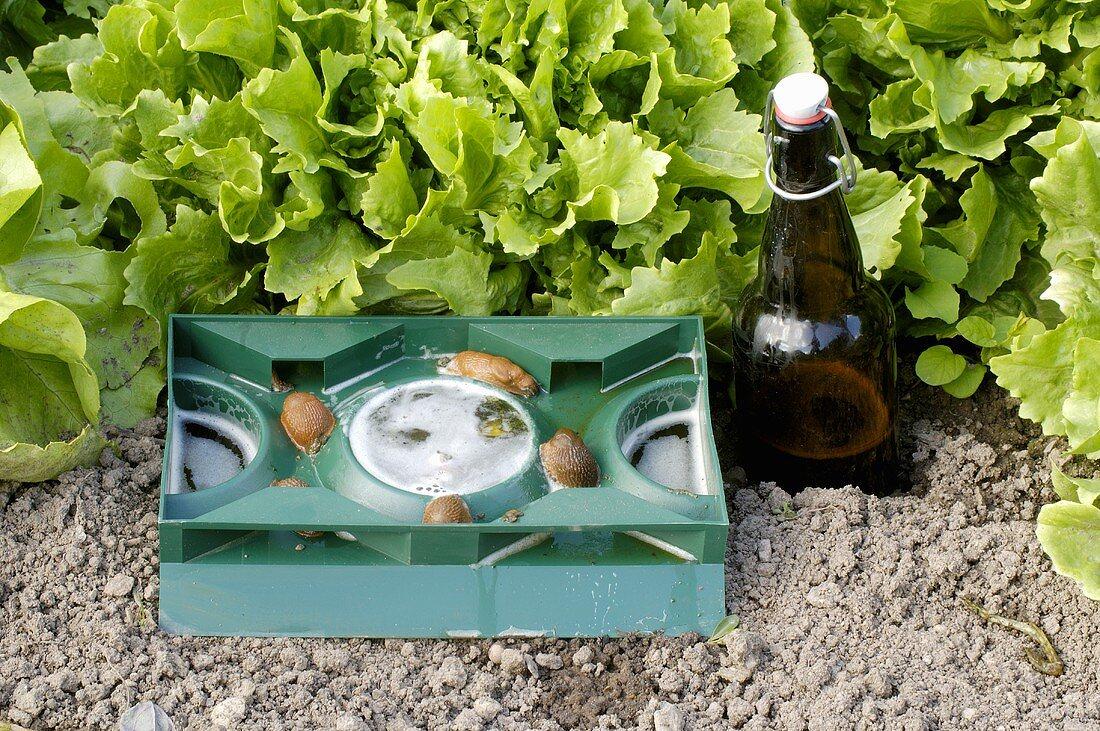 Slug trap with beer and slugs