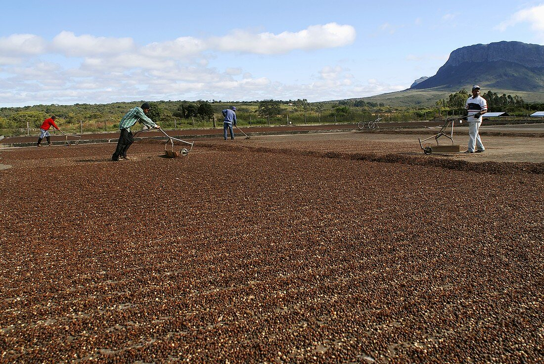 Men processing coffee: drying the beans