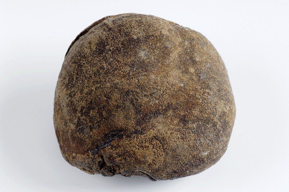 Cola nut (Cola nitida)