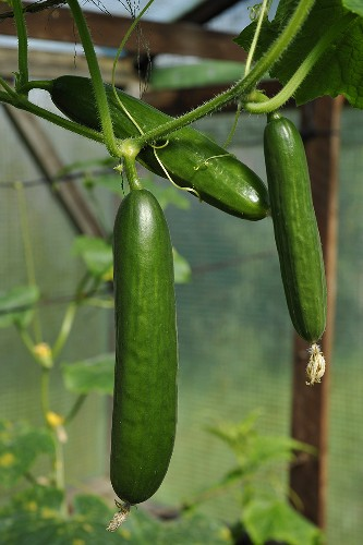 Cucumbers on the plant