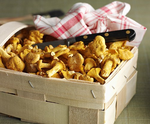 Fresh chanterelle mushrooms in a wooden basket with a knife and a dish cloth