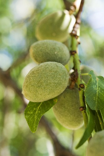 Almonds on the tree