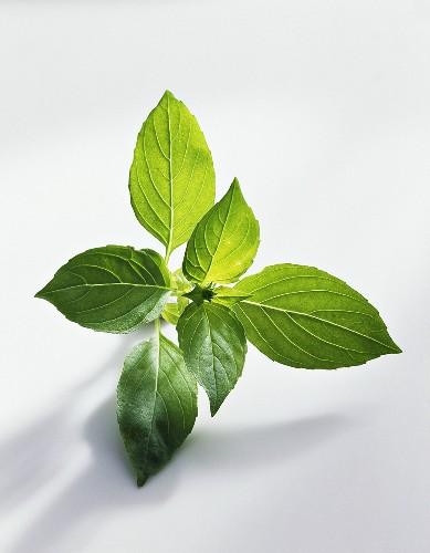 Lemon basil (Ocimum basilicum var. citriodorum)