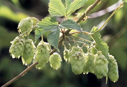 Hop cones on the vine (Humulus lupos)