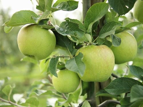 Mutsu apples on the tree