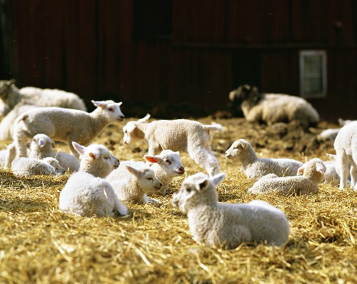 Lambs on straw on a farm in Sweden