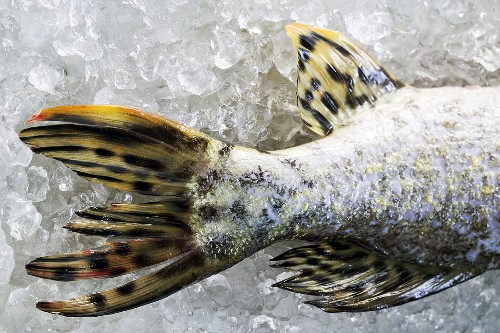 Pike tail on ice
