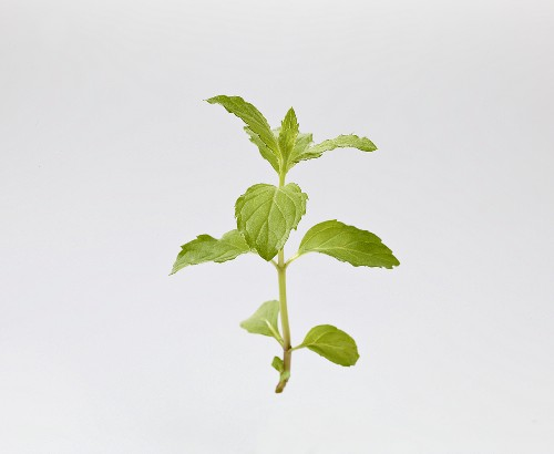 Carmagnola mint