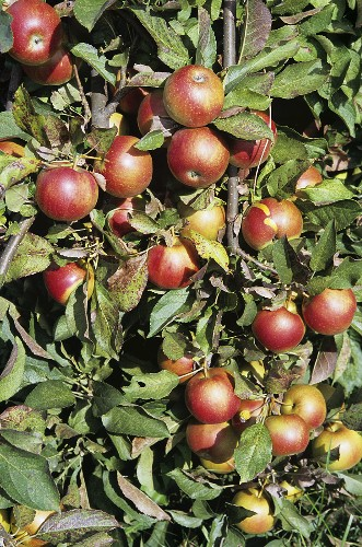 Empire Apples on the Tree