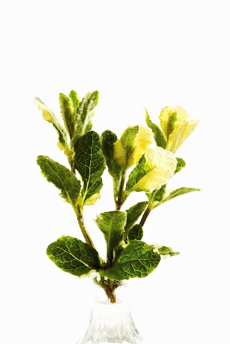 Variegated apple mint