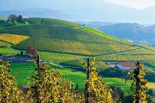 Markgräflerland: Blick auf eine Hüge lige Weinlandschaft