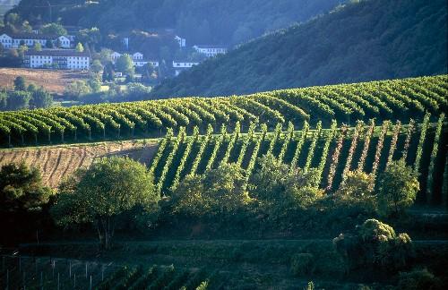 Weinlandschaft in der Pfalz, Leinsweiler Sonnenberg