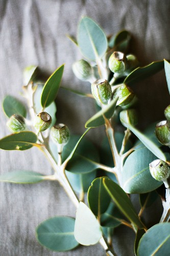 Australian eucalyptus as a table decoration