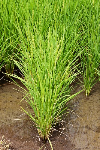 A field of rice (close-up)