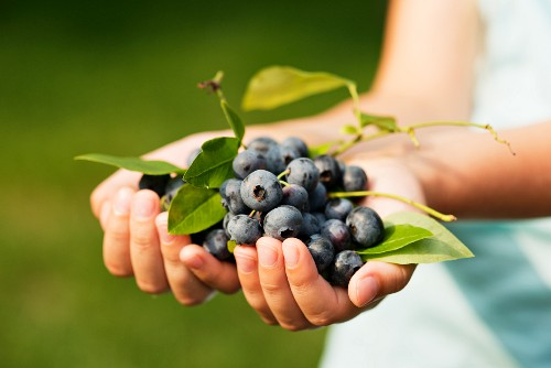 Blueberries held in a girl's hands