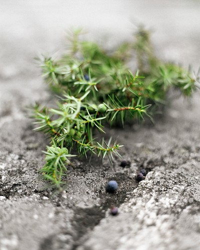 A sprig of juniper berries on a stone surface