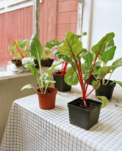 Young vegetable plants on a table on a balcony