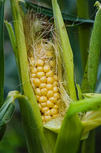 Cob of corn on the plant (close-up)