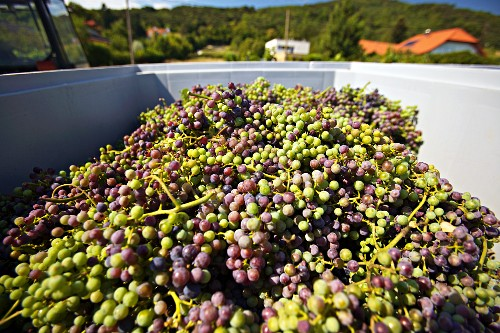 A harvest of unripe Zweigelt grapes for making verjuice