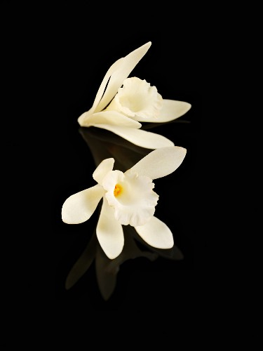 Two vanilla flowers against a black background