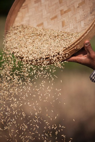 Rice Being Sifted During Harvest, Bali, Indonesia