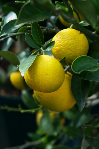 Yuzu fruits on a bush