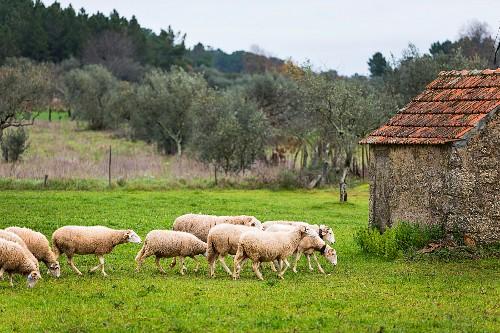 Mehrere Schafe auf der Weide