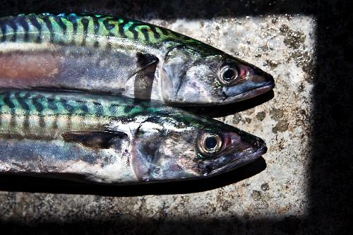Freshly caught Cornish mackerel